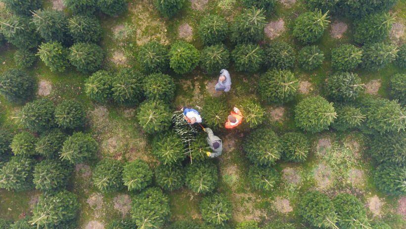 Węgry: co roku sprzedawanych jest ponad 2 mln ciętych choinek